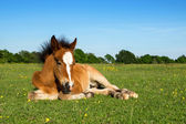 Cute Brown Foal Laying on Grass — Stock Photo