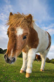 Brown and White Shetland Pony — Stock Photo