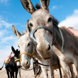 Bedouin donkey. — Stock Photo