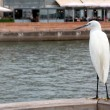 Little Egret sitting on a background of the promenade. — Стоковая фотография