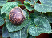 Snail Helix pomatia on a background of green leaves. — Stock Photo