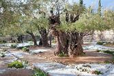 Snow in the Garden of Gethsemane. — Stock Photo
