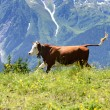Stock Photo: Crazy cow is jumping in mountain