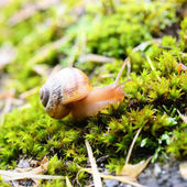 Snail crawling through grass — Stock Photo