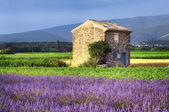 Lavender in the landscape — Stock Photo