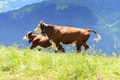 Crazy cow is jumping in the mountain — Stockfoto