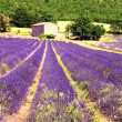 Stock Photo: Lavender in the landscape