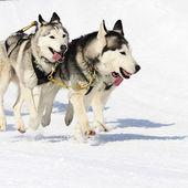 Sportiga hundar — Stockfoto