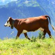 Alpine cow in summer — Stock Photo
