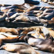 Sea Lions at San francisco, — Stock Photo
