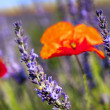 Poppy flower and lavender — Stock Photo
