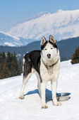 Siberian husky i snön — Stockfoto