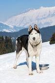 Siberische husky in de sneeuw — Stockfoto