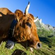 Alpine cow — Stock Photo #35541067