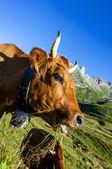 Alpine cow — Stock Photo
