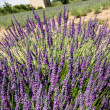 Lavender in the landscape — Stock Photo #35786013