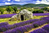 Lavender field. — Stock Photo