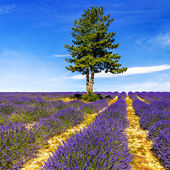 LAVENDER IN SOUTH OF FRANCE — Stock Photo