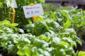 Homegrown basil seedlings — Stock Photo