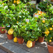Homegrown citrus seedling pots — Stock Photo