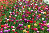Multicolored tulip field in Holland — Stock Photo