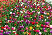 Multicolored tulip field in Holland — Stock Photo