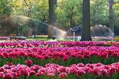 Tulips in sunset light — ストック写真