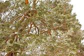 Verschneite kiefer niederlassungen — Stockfoto