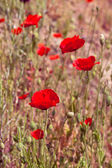 Red poppy in a summer meadow — Stock Photo