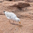 Stock Photo: Eating White Seagull