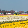 Multicolored narcissus field in Holland — Stock Photo