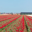 Red tulip field in Holland — Stock Photo