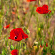 Red poppies in a summer meadow — Stock Photo #14876107