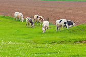 Cows Herd at the Green Meadow — Stock Photo