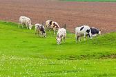 Stada krów w zielony łąka — Zdjęcie stockowe