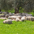 Sheep Herd Resting in the Olive Tree Shadow — Stock Photo