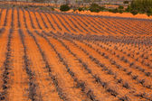Spanish Vineyard — Stock Photo
