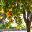 Stock Photo: Ripe oranges on tree