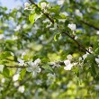 Blooming apple tree branches background — Stock Photo