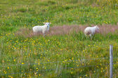 Lambs on the green grass — Stock Photo