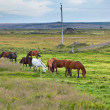 Horses in a green field of grass at Iceland Rural landscape — Foto Stock