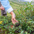 Stock Photo: HumHand and Bush of Ripe Blueberry in Summer