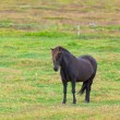 Black Horse in Green Field of Grass — Stock Photo #24324411