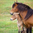 Brown Horse and Her Foal in a Green Field of Grass. — Stock Photo #24324789