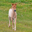 Brown Horse Foal in a Green Field of Grass. — Stock Photo #24326405