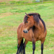 Brown Horse in Green Field of Grass — Stock Photo #24327315