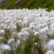 Arctic Cotton Grass in Iceland — Stock Photo