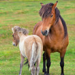 Brown Horse and Her Foal in Green Field of Grass — Stock Photo #24328153