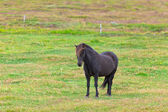 Black Horse in a Green Field of Grass — Stock Photo