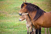 Brown Horse and Her Foal in a Green Field of Grass. — Stock Photo